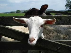 self catering cottages - goats